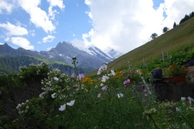Mountain daisies at Murren