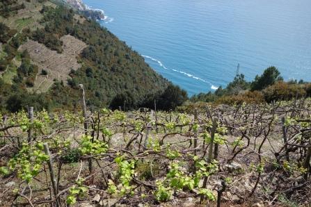 Terraced vines